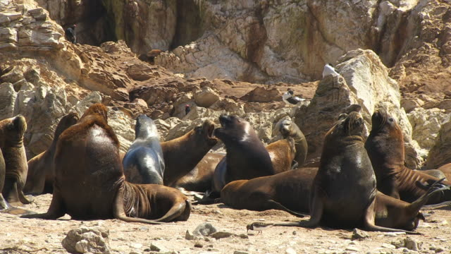 vidéos et rushes de group of south american sealions on beach with one pair fighting - phoque