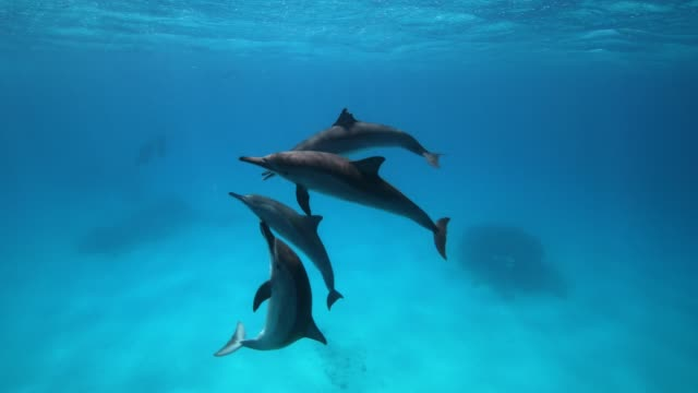 A group of spinner dolphins at play