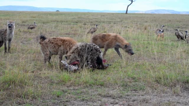 A group of spotted hyena eating zebra,  Maasai Mara, Kenya, Africa
