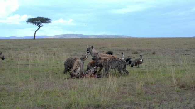 vidéos et rushes de a group of spotted hyena eating zebra,  maasai mara, kenya, africa - se nourrir des restes