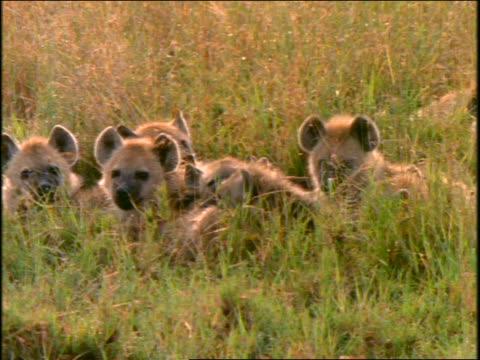 vídeos y material grabado en eventos de stock de group of spotted hyenas lying in grass look up at camera / africa - animales de safari