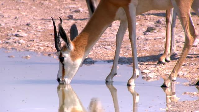 a group of springboks drinking water/ etosha national park/ namibia - antelope stock videos & royalty-free footage