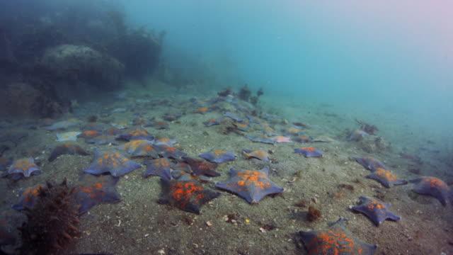 group of starfish scattering / dmz, south korea - ヒトデ点の映像素材/bロール