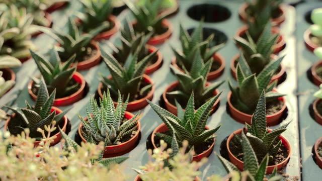group of succulent plants in the pots, green concept. - ago parte della pianta video stock e b–roll