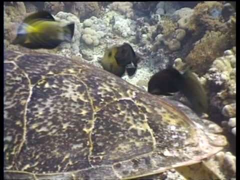 cu group of surgeonfish cleaning hawksbill turtle shell, zoom out to ms fish cleaning while turtle floats over reef, layang layang, malaysia - 動物の色点の映像素材/bロール