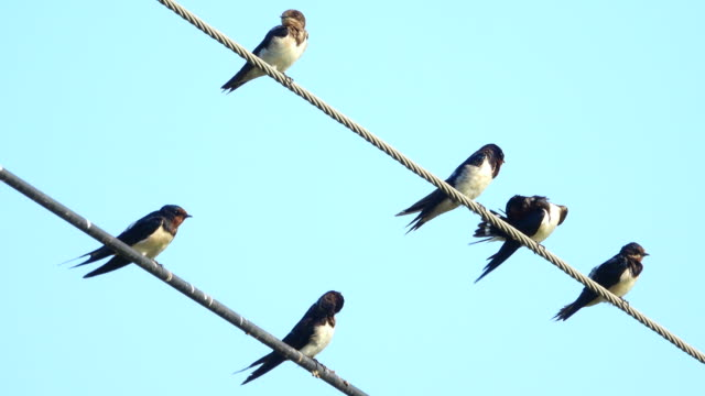 group of swallow on power line - steel cable stock videos & royalty-free footage