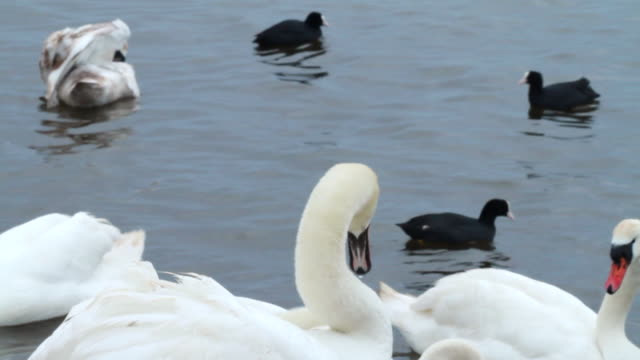 cu group of swans and ducks in lake / wiltshire, england, united kingdom - wiese stock videos & royalty-free footage