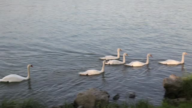group of swans on the rhone river. - rhone river stock videos & royalty-free footage