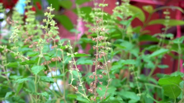 group of sweet basil leaf with flowers - basil stock videos & royalty-free footage