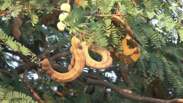 vídeos de stock, filmes e b-roll de grupo de fruta do tamarindo em uma árvore - árvore de folha caduca