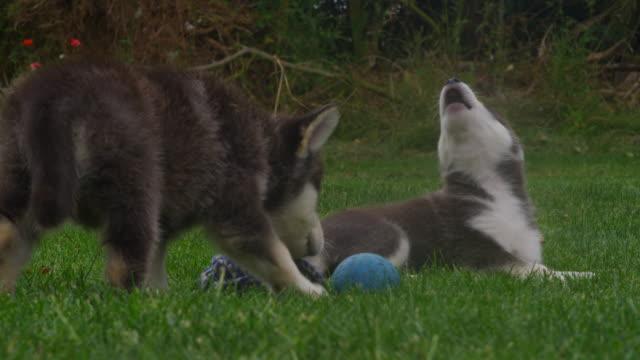 slomo group of tamaskan pups play in garden - kleine gruppe von tieren stock-videos und b-roll-filmmaterial