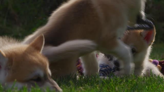 slomo group of tamaskan pups play with rope toy in garden - kleine gruppe von tieren stock-videos und b-roll-filmmaterial