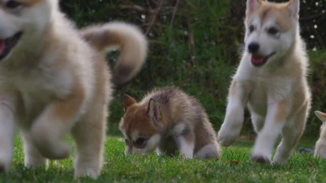 slomo group of tamaskan run to camera in garden - young animal stock videos & royalty-free footage