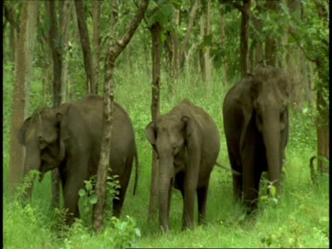 ms group of three asian elephant, elephas maximus, grazing in forest, to camera, western ghats, india - small group of animals stock videos & royalty-free footage