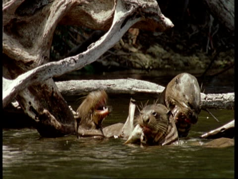 ms group of three giant otter, pteronura brasiliensis, eating fish, amazon, south america - small group of animals stock videos & royalty-free footage