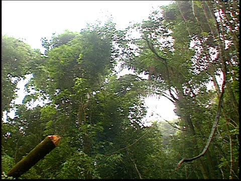 a group of trees being felled in the amazon rainforest - roraima state stock videos and b-roll footage