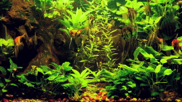 ms group of tropical fish swimming in aquarium / slovenia - fish tank stock videos & royalty-free footage
