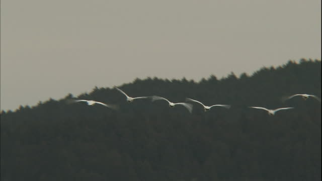 a group of tundra swans flies over a forest in tochigi, japan. - medium group of animals stock videos & royalty-free footage