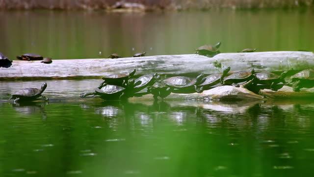 Gruppe von Schildkröten aalen Sie sich in der Sonne auf Flusssteinen