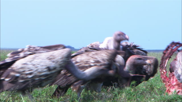 CU group of varied vultures pulling at ribs of zebra carcase with some in foreground very close to camera