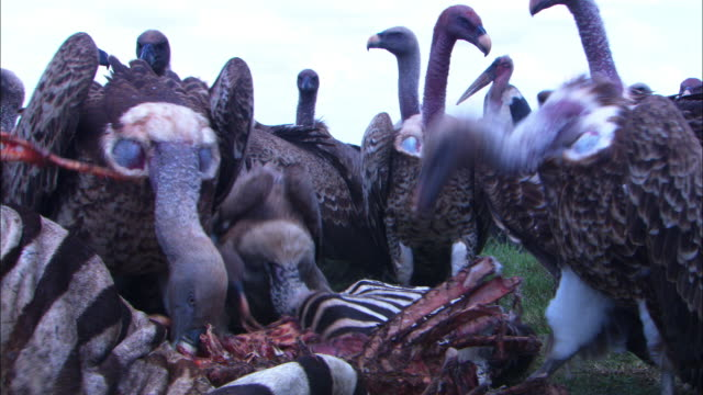 CU group of varied vultures pulling at zebra carcase very close to camera
