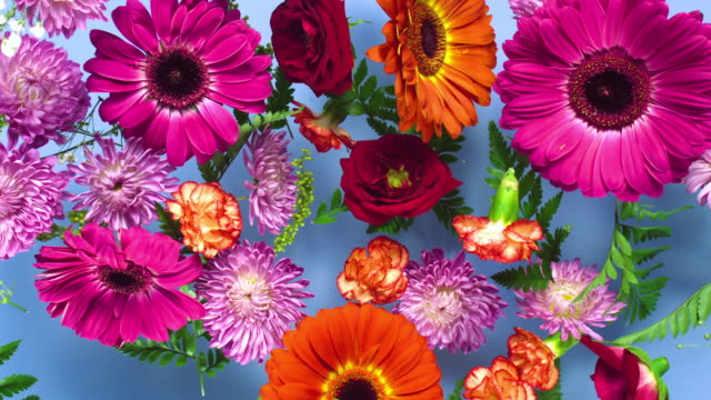a group of vivid colored flower heads bouncing and splattering on blue background - carnation flower stock videos & royalty-free footage