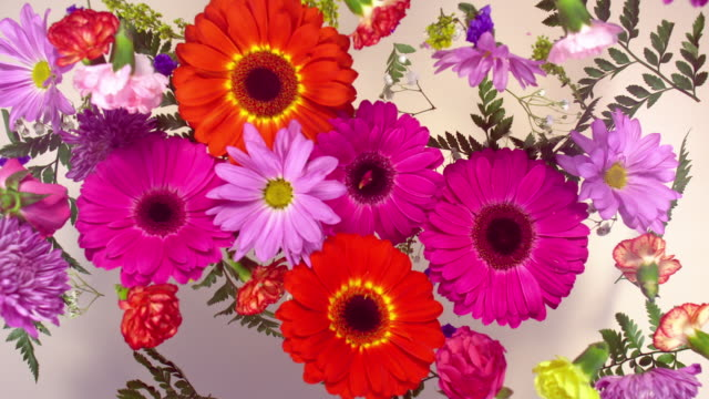a group of vivid colored flower heads bouncing and splattering on light yellow background - carnation flower stock videos & royalty-free footage