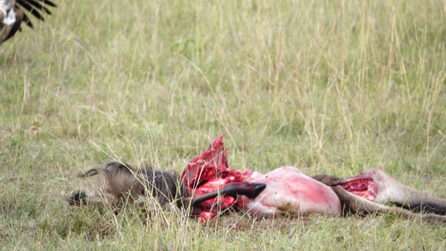 a group of vultures feeding with freshly killed wildebeest - bush stock videos & royalty-free footage