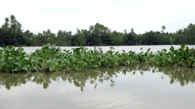 group of water hyacinth floating in river - hyacinth stock videos & royalty-free footage