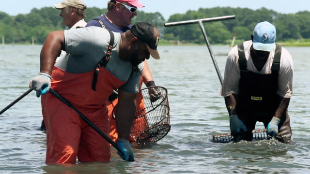 MS PAN Group of  Watermen Harvesting Clams in Shallow Water / Oyster, Virginia, USA