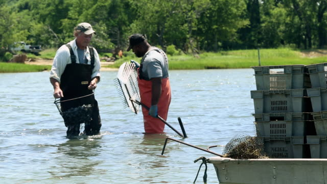 vidéos et rushes de ws group of  watermen harvesting clams in shallow water / oyster, virginia, usa - pêcheur