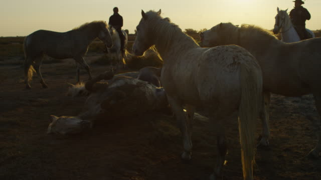 vídeos de stock, filmes e b-roll de group of white camargue horses rolling in sand in evening light with herders in background - grupo médio de animais