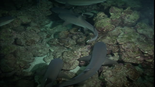 ms cu ts group of white tip sharks swimming near coral / madagascar - oceanic white tip shark stock videos & royalty-free footage