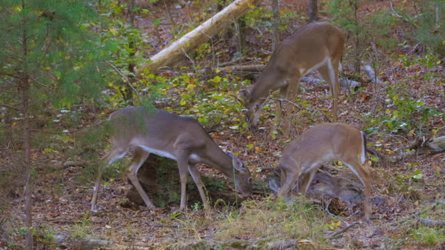 group of white-tailed deer fawn foraging in woods of north carolina - foraging stock videos & royalty-free footage