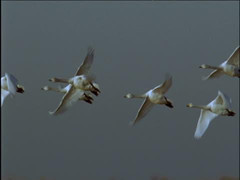 group of whooper swans flies over lake - イーストアングリア点の映像素材/bロール