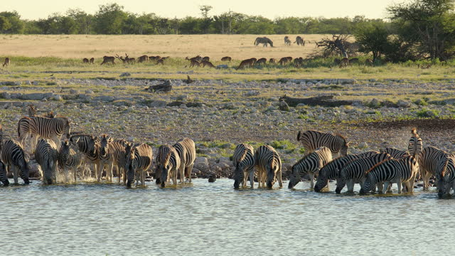 group of wild animals drinking water at the waterhole in etosha national park, namibia - small group of animals stock videos & royalty-free footage