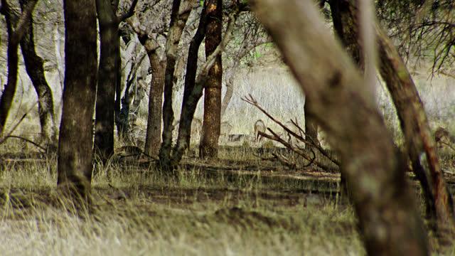 group of wild boar grazing around the dry grassland - 連続するイメージ点の映像素材/bロール