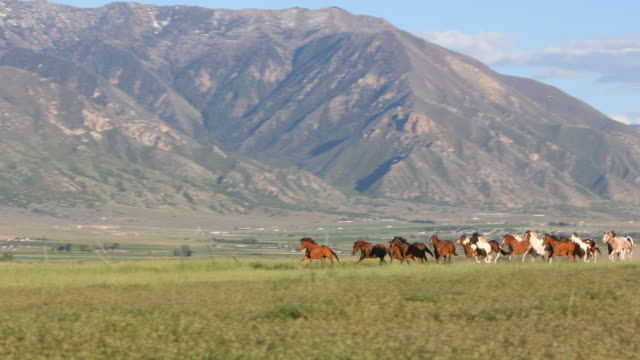 group of wild horses being herded - imbrancare video stock e b–roll