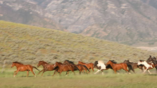 vídeos de stock e filmes b-roll de group of wild horses being herded - pradaria