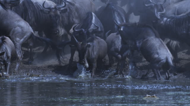 SLOMO group of Wildebeest drink from river and stampede as Nile crocodile strikes at one