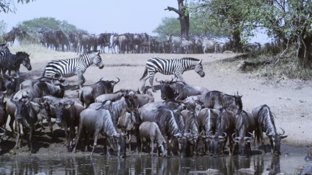 stockvideo's en b-roll-footage met group of wildebeest drink nervously from river facing camera then run off  - op hol slaan