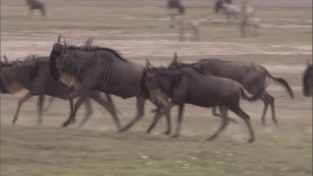 group of wildebeest run through herd of wildebeest and zebra. available in hd. - steppenzebra stock-videos und b-roll-filmmaterial