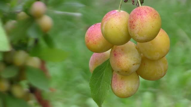 vidéos et rushes de cu group of yellow plums at tree / serrig, rhineland-palatinate, germany - groupe moyen d'objets
