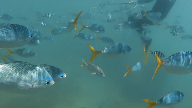 Group of yellowfin fish