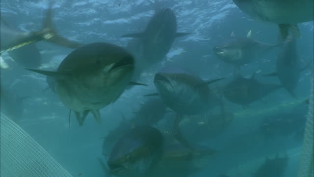 slo mo cu td group of yellowfin tuna (thunnus albacares) swimming above net, diver grabbing fish from net / moorea, tahiti, french polynesia - fishing net stock videos & royalty-free footage