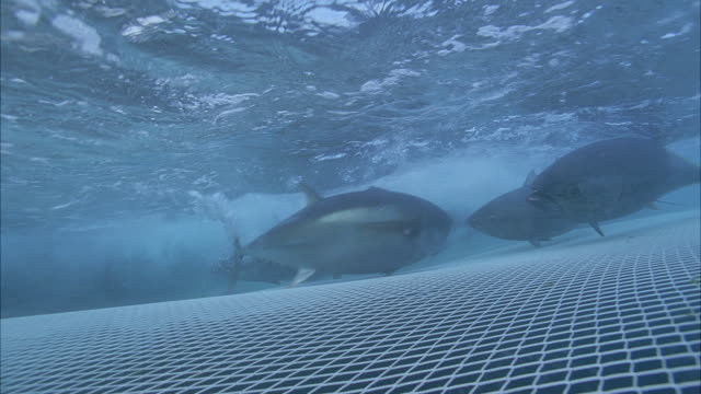 vídeos de stock e filmes b-roll de slo mo ms group of yellowfin tuna (thunnus albacares) swimming below water's surface and above net / moorea, tahiti, french polynesia - rede de pesca objeto manufaturado