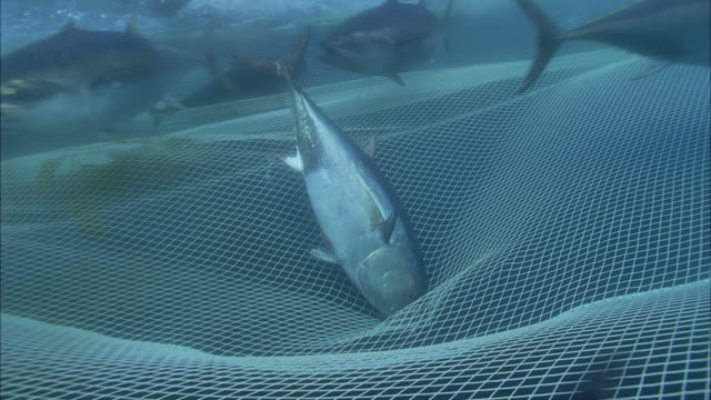SLO MO CU PAN Group of Yellowfin tuna (Thunnus albacares) swimming below water's surface and above net / Moorea, Tahiti, French Polynesia