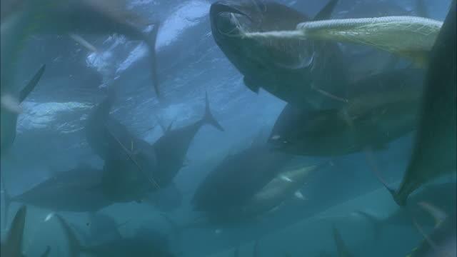slo mo cu group of yellowfin tuna (thunnus albacares) swimming in net underwater / moorea, tahiti, french polynesia - tahiti stock videos & royalty-free footage