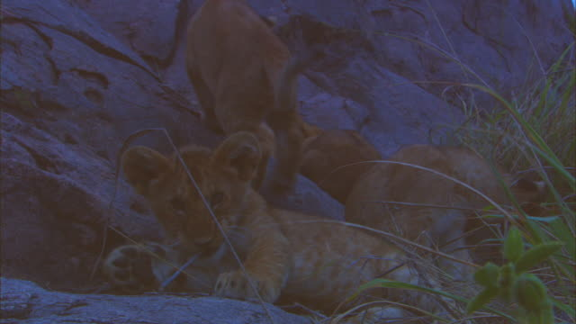 cu group of young african lion cubs on rocky outcrop with one chewing at a stick - outcrop stock videos & royalty-free footage