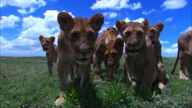 Group of young African lion cubs very close to camera look intently into lens filling frame PAN through faces with some snarling